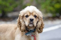 Groomed Cocker Spaniel dog with blue collar and tag. Male neutered groomed buff Cocker Spaniel dog with blue collar and tag on red leash. Outdoor animal adoption Royalty Free Stock Photography