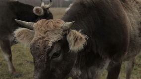Groomed cow on the lawn in a fall stock video footage