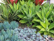 Small Succulent Cactus Plants in Rock Garden. A groomed garden feature with a variety of small succulent cactus plants, and larger pointy green Agave Attenuata stock photo