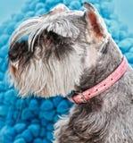 Pet dog hair cut Stock Image