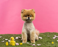 Groomed Pomeranian dog sitting in grass with flowers and chicks. In front of a pink background Stock Photos