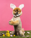 Groomed Pomeranian dog standing in grass on hind legs and wearin Royalty Free Stock Images