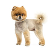 Groomed Pomeranian dog standing and looking away Stock Photos
