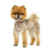 Groomed Pomeranian dog standing and looking at the camera Royalty Free Stock Photos
