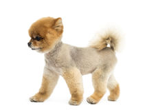 Groomed Pomeranian dog walking Stock Photo