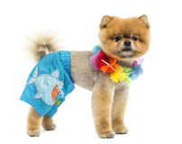 Groomed Pomeranian dog wearing shorts and a Hawaiian lei Stock Photography