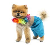 Groomed Pomeranian dog wearing shorts and a Hawaiian lei Royalty Free Stock Photos