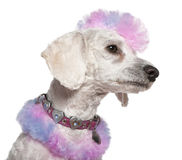 Groomed poodle with pink and purple fur and mohawk Royalty Free Stock Photos