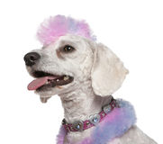 Groomed poodle with pink and purple fur and mohawk Stock Image