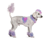 Groomed poodle with pink and purple fur and mohawk Stock Photo