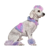 Free Groomed Poodle With Pink And Purple Fur And Mohawk Stock Photo - 14096100