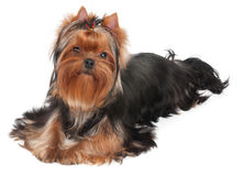 Groomed puppy Royalty Free Stock Image
