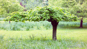 Groomed Tree Royalty Free Stock Image