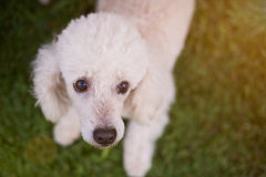 Groomed white poodle dog. Portrait of groomed white poodle dog view from top on blur green grass background. Cute groomed poodle dog Royalty Free Stock Photo