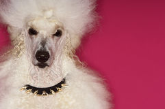 Groomed White Standard Poodle Stock Image