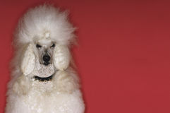 Groomed White Standard Poodle Royalty Free Stock Images
