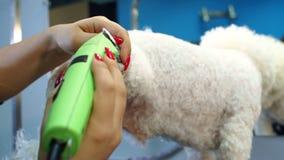 Groomer που τακτοποιεί ένα σκυλί Bichon Frise με έναν κουρευτή ζώων τρίχας σε μια κλινική κτηνιάτρων απόθεμα βίντεο