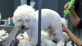 Groomer που τακτοποιεί ένα σκυλί Bichon Frise με έναν κουρευτή ζώων τρίχας σε μια κλινική κτηνιάτρων φιλμ μικρού μήκους
