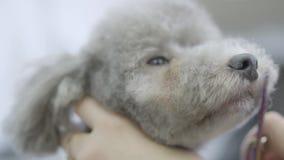 Groomer режет волосы на наморднике небольшая милая собака с ножницами Прелестная собака в любимце парикмахера Салон холить любимц видеоматериал