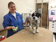 Groomer любимчика работая на собаке Стоковое фото RF