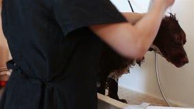 Groomer baden Spaniel stock video