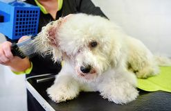 Groomer blowdrying the hair of a small white dog. Groomer blowdrying the hair of a small curly coated white dog in a grooming parlor or pet salon in a close up stock image