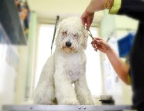 Groomer trimming the coat of a small white dog. Groomer carefully trimming the long coat of a small white dog around the ears in a pet salon or grooming parlor Stock Image