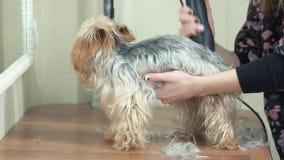 Groomer che lavora con il terrier di York archivi video