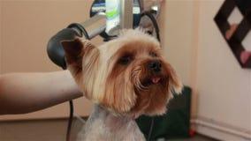 Groomer che usando i tagli d'assottigliamento per tagliare capelli dalla museruola dell'Yorkshire terrier video d archivio
