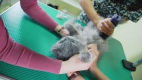 Groomer ciie kota włosy na podbrzuszu używać cążki Przygotowywać zwierzęta domowe zdjęcie wideo
