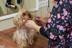Groomer with comb, york terrier. Groomer with comb york terrier. Cute small dog stock photography
