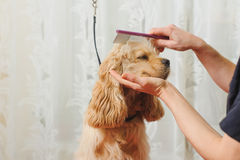 Groomer combs dog for grooming. Woman groomer combs Young purebred Cocker Spaniel on grooming table for a a hairstyle in the room Royalty Free Stock Image
