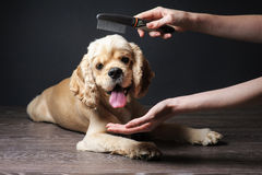 Groomer combs Young purebred Cocker Spaniel. Woman groomer combs Young purebred Cocker Spaniel for a hairstyle in the room Royalty Free Stock Images