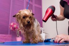 Groomer con el secador de pelo que seca el perro peludo lindo del terrier de Yorkshire fotografía de archivo