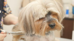 The groomer cuts the dog`s fur. In the salon. Close-up portrait of lovely terrier. The puppy sits still and moves head. Professional woman makes a hairstyle for stock footage