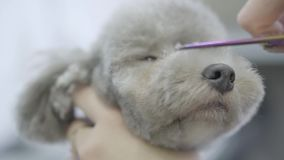 Adorable dog in barber pet. Pet grooming salon. Close up groomer cuts hair on the muzzle a small cute dog with scissors. stock footage