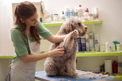 Groomer is cutting a dog hair. In hair service stock image