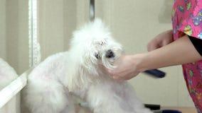 Groomer del cane che spazzola maltese bianco archivi video
