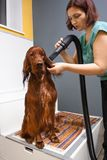 Groomer drying hair of dog with hair dryer royalty free stock photo