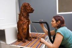 Groomer drying hair of dog at salon. Groomer drying hair of dog setter with hair dryer at salon stock images
