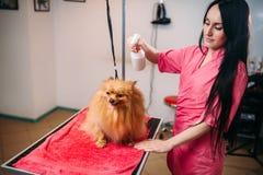 Groomer féminin d'animal familier, chien dans le salon de toilettage Photo libre de droits