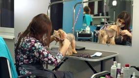 Groomer femminile che esegue cura della pelliccia per l'Yorkshire terrier al salone governare stock footage