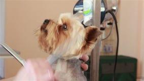 Groomer gebruikend verdunnende scharen om haar van snuit van de terriër van Yorkshire te snijden stock video