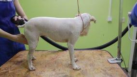 Groomer gebruikt een droogkap om hond te drogen stock videobeelden