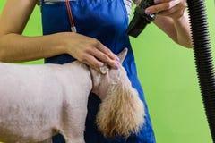 Groomer gebruikt een droogkap om hond te drogen Royalty-vrije Stock Afbeeldingen