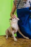 Groomer gebruikt een droogkap om hond te drogen Stock Afbeeldingen