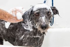 Wet Soapy Dog Taking a Bath royalty free stock image
