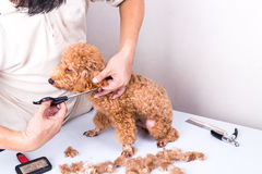 Groomer grooming poodle dog with scissor in salon. Groomer grooming brown poodle dog with scissor in salon stock photo