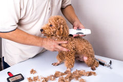 Groomer grooming poodle dog with trim clipper in salon. Groomer grooming brown poodle dog with trim clipper in salon stock photography