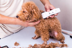 Groomer grooming poodle dog with trim clipper in salon. Groomer grooming brown poodle dog with trim clipper in salon stock image